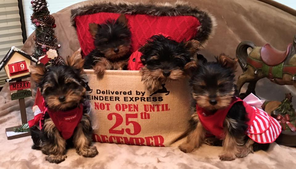 Oregon Akc Yorkie Breeder Yorkshire Terriers Portland Or